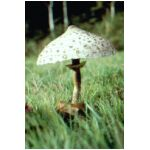 A large Parasol Mushroom taken in Hampshire